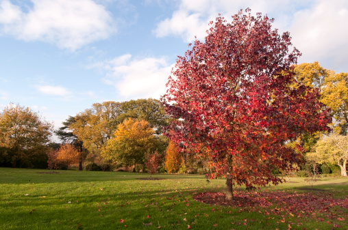 Beautiful day in Autumn.  Red Sweetgum tree. More fall: