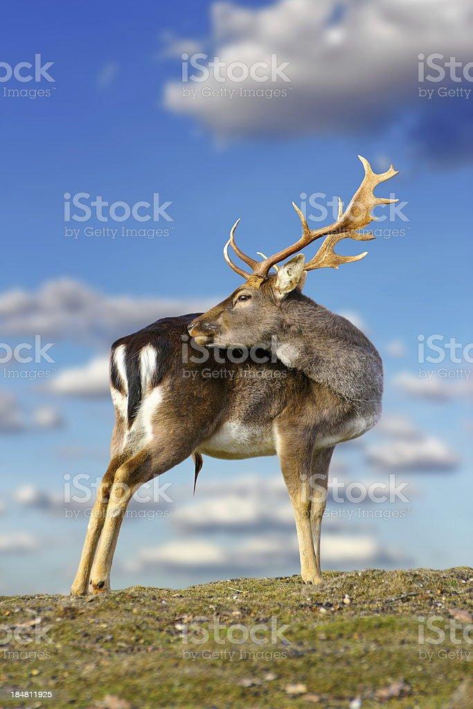 beautiful fallow deer buck royalty-free stock photo