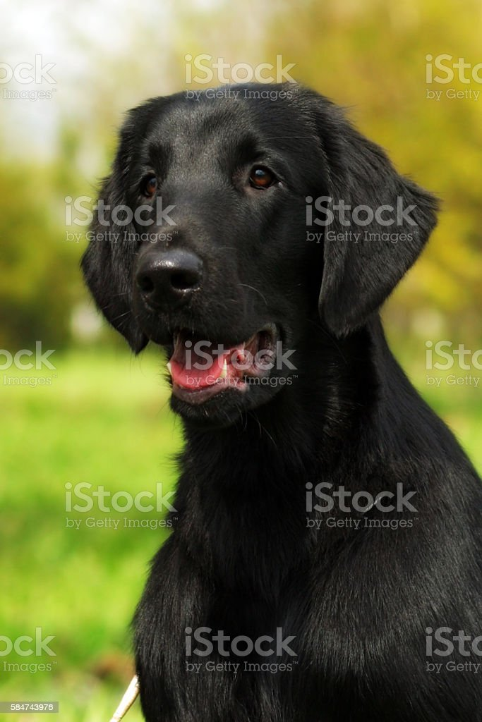 beautiful family dog the flat-coated Retriever summer nature wal stock photo