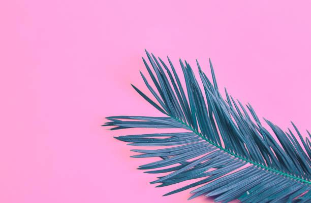 Schöne gefiederte Palmblatt auf neonrosa Hintergrund. Sommer tropischen Konzept. Städtische Dschungel Zimmerpflanzen. Hochauflösendes Posterbanner – Foto