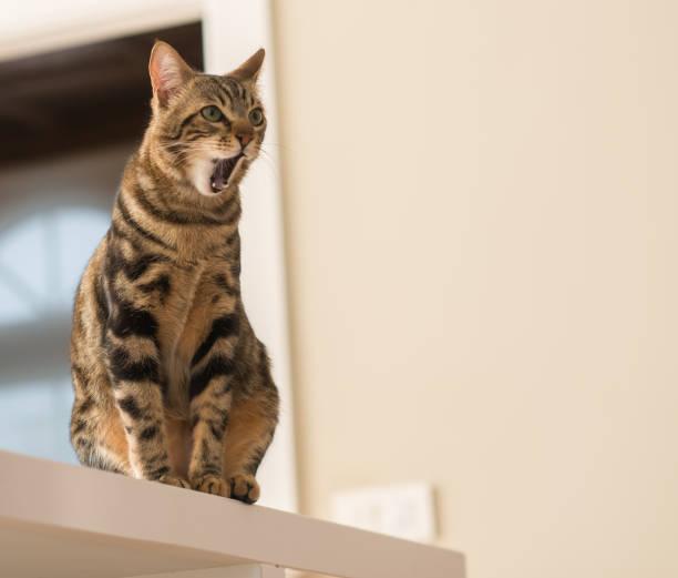 Beautiful feline cat at home domestic animal picture id1044210698?b=1&k=6&m=1044210698&s=612x612&w=0&h=1lvglvhcgryphrt3zv2bhaviwo448jvmzxcnouu1qxm=