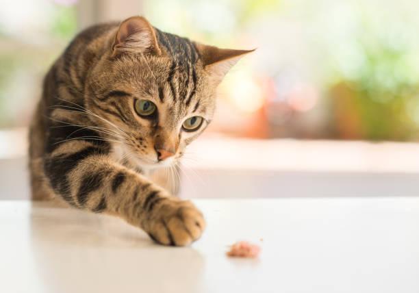 Beautiful feline cat at home domestic animal picture id996091228?b=1&k=6&m=996091228&s=612x612&w=0&h=mzo4l0q8lbxnlisjdot7ppqmuhd9it1lu5tl3plf5qk=