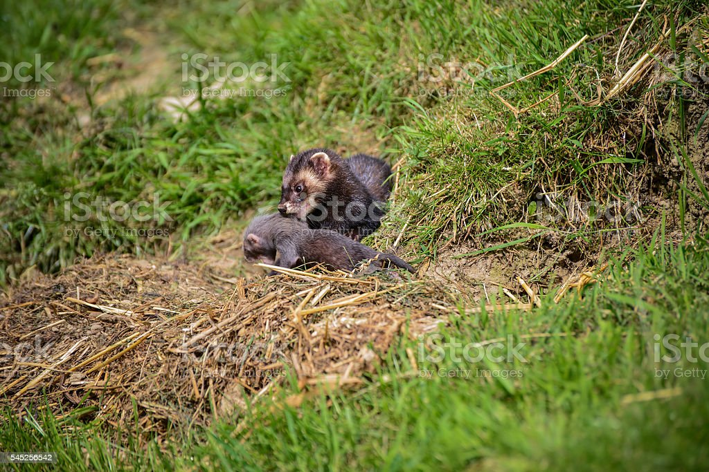 Beautiful female Jill polecat mustelinae putorisus dragging baby stock photo