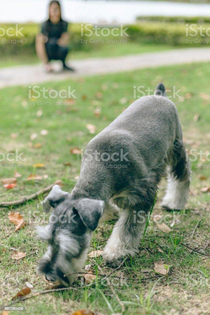 Resultado de imagen para schnauzer and owner playing