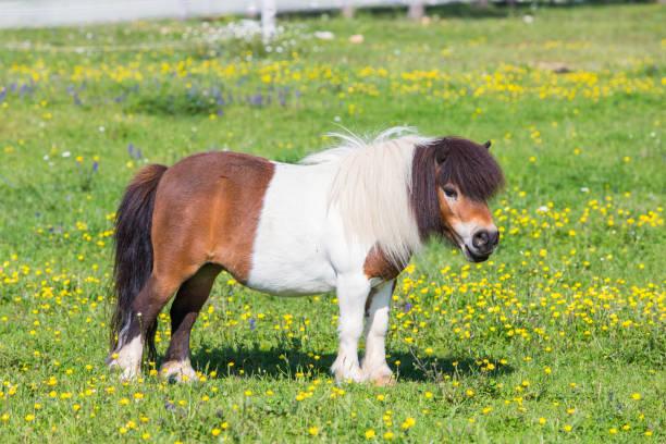 Beautiful female Shetland pony on pasture stock photo
