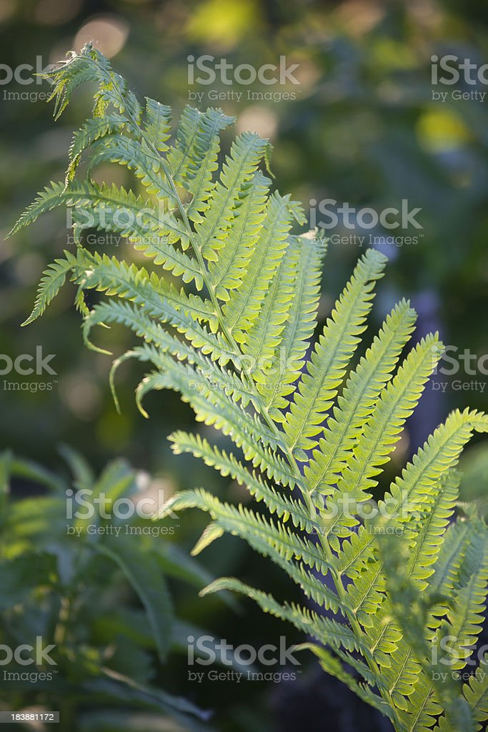 Beautiful Fern stock photo