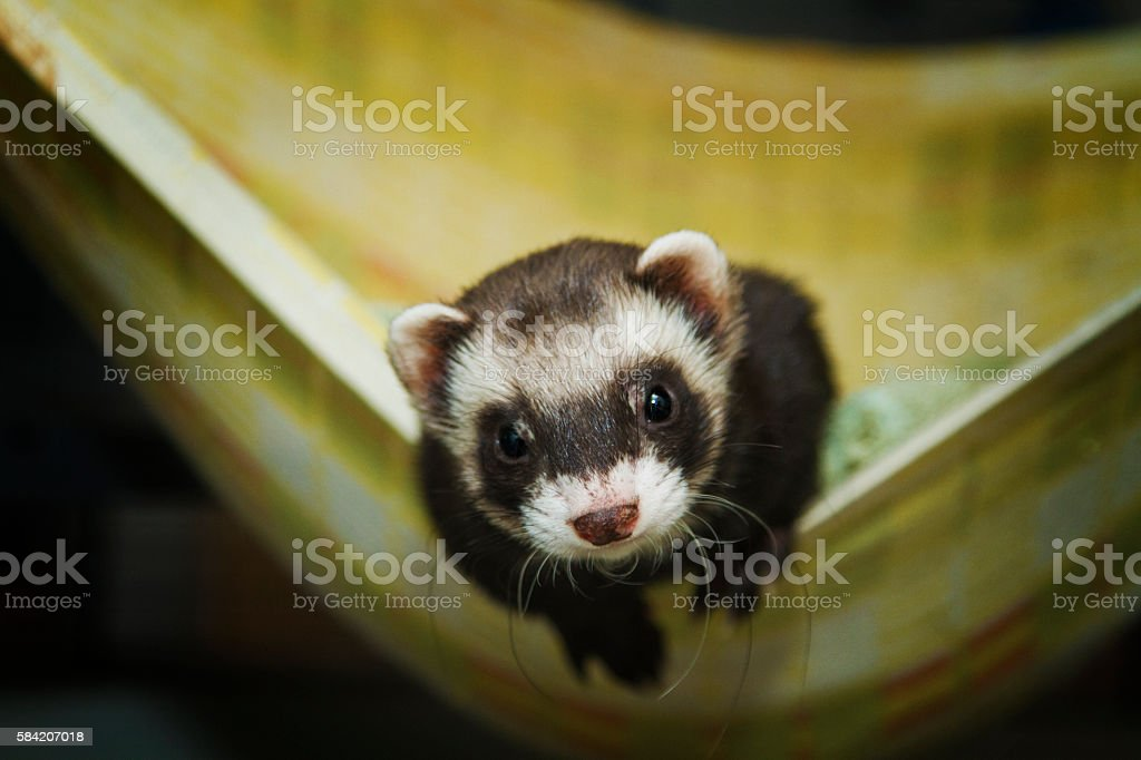 Beautiful ferret or weasel resting in a nest stock photo