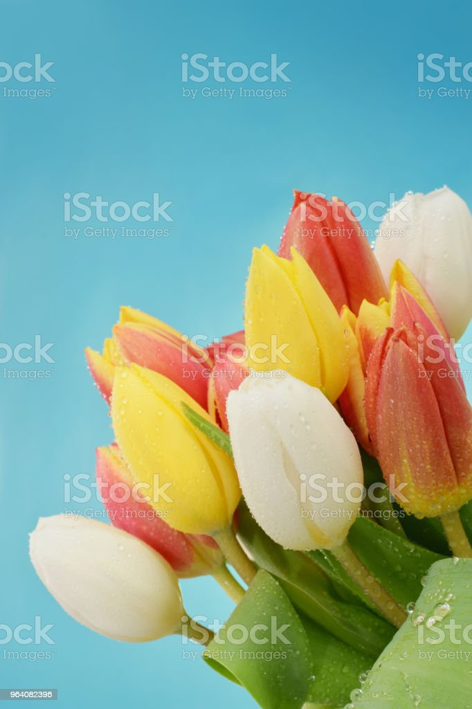 Beautiful fflowers of tulips - Royalty-free Adult Stock Photo