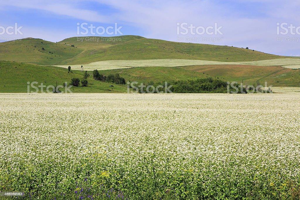 Beautiful field of buckwheat stock photo