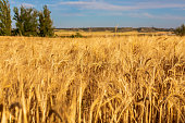 Beautiful field of cereals (wheat, barley, oats) dried and golden by the sun. Space to insert your text.