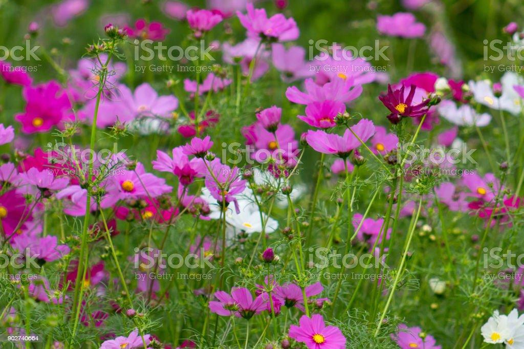 Beau Terrain De Magenta Blanc Et Rose Fleurs Cosmos