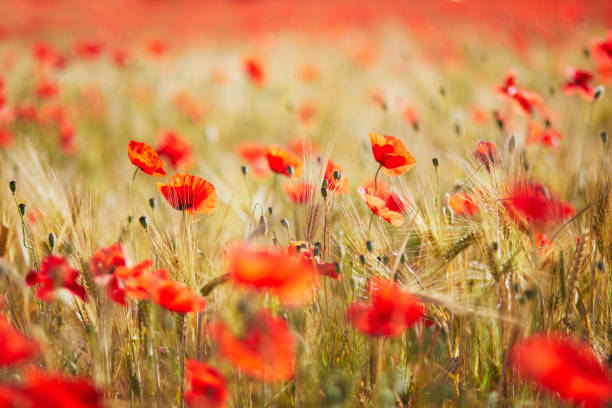 Beautiful field of red blooming poppies and golden wheat spikes stock photo