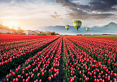 Beautiful field of red tulips in the Netherlands. Fantastic spring sunset. Balloons in the background. Holland