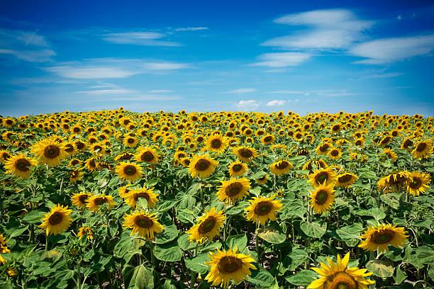 Beautiful field of sunflowers stock photo