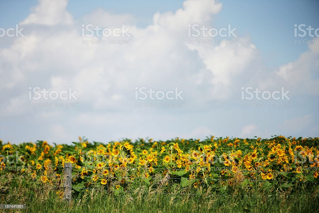 Beautiful Field of Sunflowers Under Blue Sky royalty-free stock photo