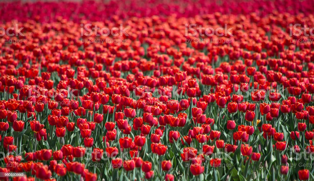 Beautiful field of tulips with Red tulips in abundance stock photo