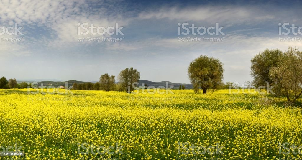Beautiful Field Of Yellow Flowers With Olive Trees And Blue Cloudy