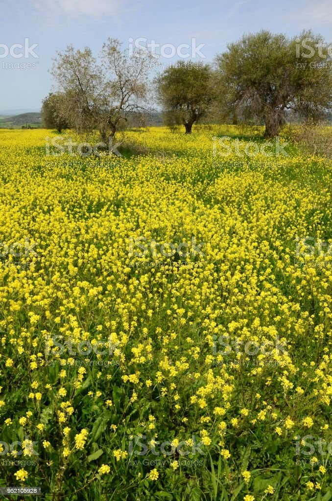 Beautiful field of yellow flowers with olive trees and blue cloudy beautiful field of yellow flowers with olive trees and blue cloudy sky in the tuscan countryside mightylinksfo