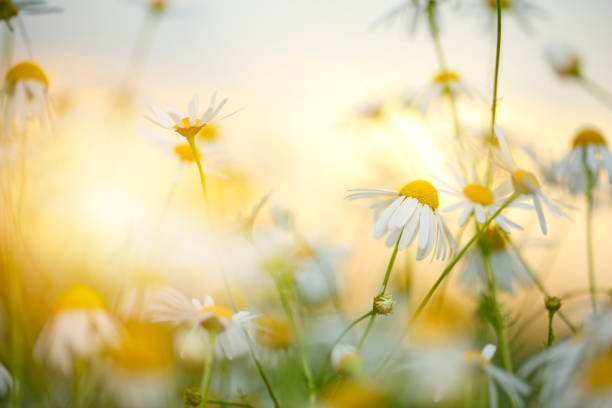 Beautiful field with flowers picture id672967958?b=1&k=6&m=672967958&s=612x612&w=0&h=wsiexl30df8ow3ujqveub 0bg88gtmwfoqvh9o85gni=