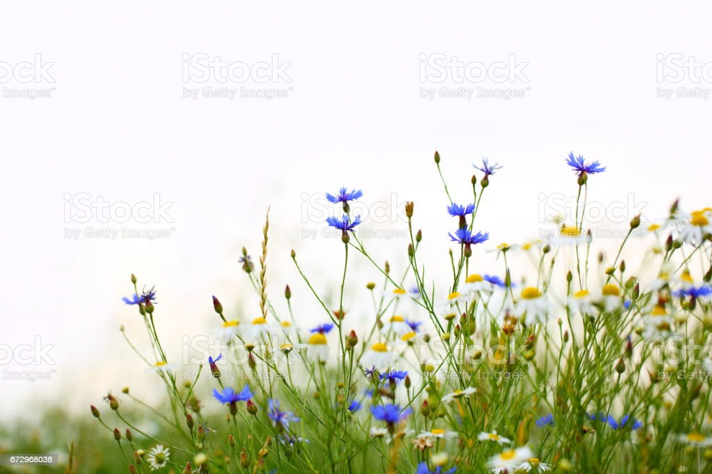 Beautiful Field with Flowers