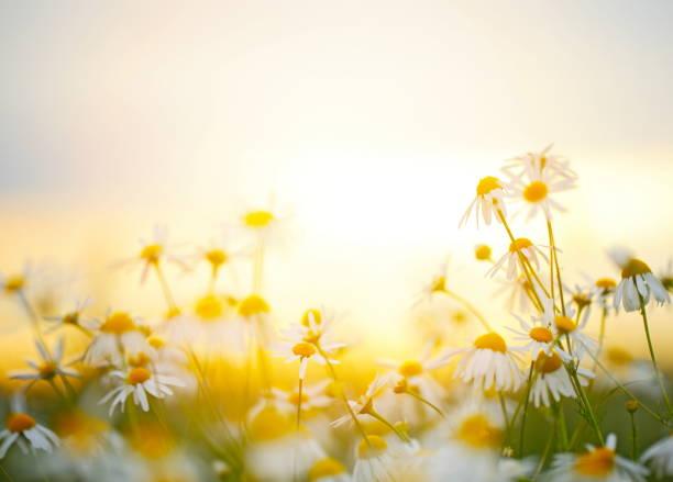 wunderschöne feld mit blumen - sommerblumen stock-fotos und bilder