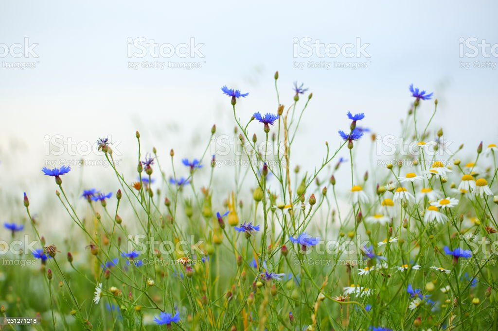 Beautiful Field with Flowers stock photo