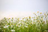Wild flowers in meadow.