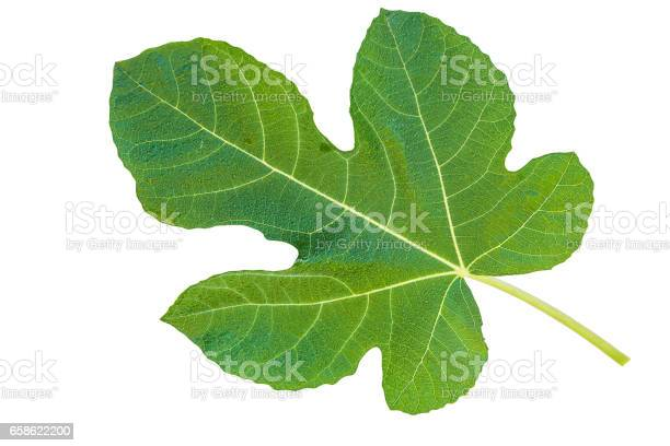 fig leaf isolated on a white background