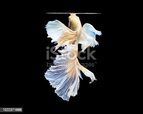 istock Beautiful fighting fish on black background with clipping path 1022371666