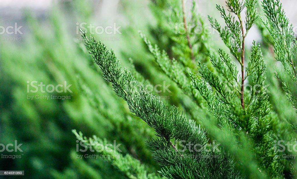 Beautiful fir tree twigs outdoors stock photo