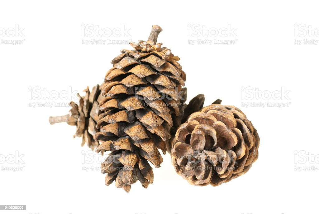 Beautiful fir-cone   isolated on white background stock photo