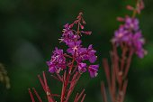 Wild fireweed in wet environment