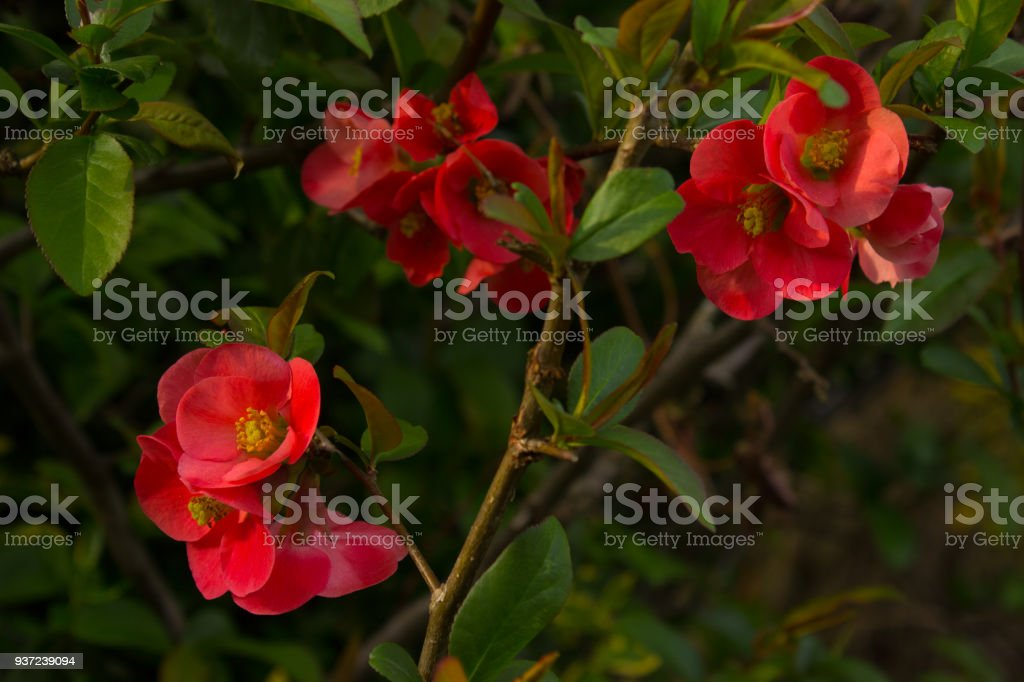 Beautiful first spring flowers quince stock photo more pictures of beautiful first spring flowers quince royalty free stock photo mightylinksfo
