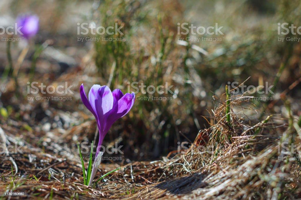 Schönen ersten Frühlingsblumen. Ansicht von Close-up blühen Violette Krokusse auf einer Wiese im Frühling. Natur-Hintergrund-Bilder. – Foto
