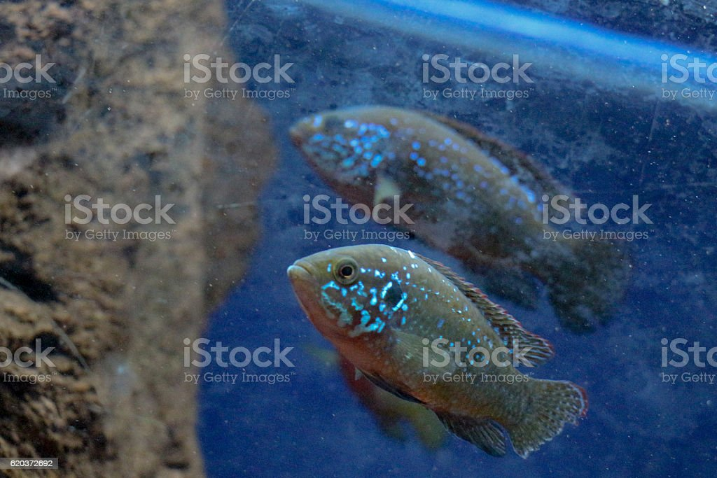 Beautiful fish in the aquarium zbiór zdjęć royalty-free