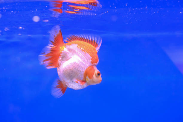 Best Blue Oranda Goldfish Stock Photos, Pictures & Royalty-Free