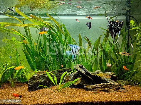 beautiful fishes swimming in a planted tropical freshwater aquarium