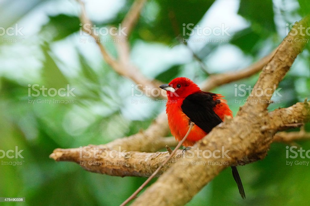 Hermoso Rojo llama tangara escarlata Brasil bird - foto de stock