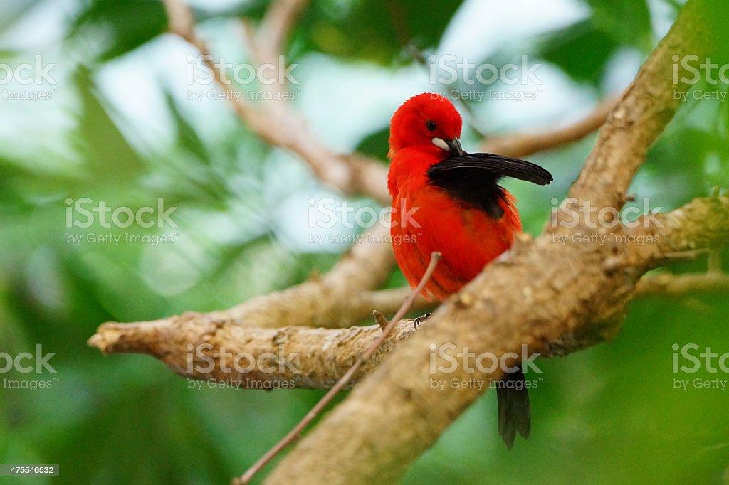 Beautiful flame red tanager brazil tropical bird stock photo