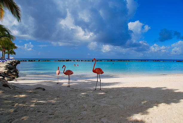 beautiful Flamingos on a paradise Beach Flamingos standing close to the sea on a beach in Aruba. wading stock pictures, royalty-free photos & images
