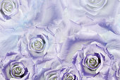 Beautiful floral background of white-purple  roses. Greeting card.