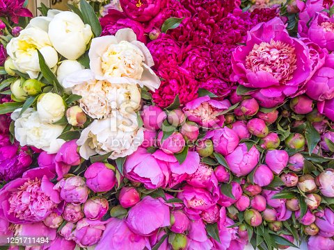 Blurred floral background. Lots of beautiful fresh peonies of pink and white colors.