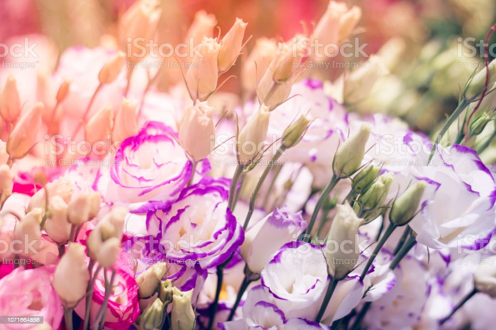 Beautiful floral background with pink and violet roses. The concept of Valentine's Day and greetings. stock photo