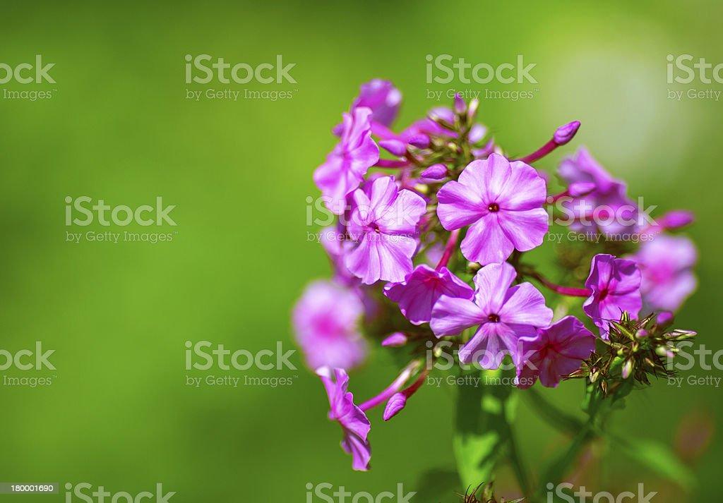 아름다운 꽃 국경 분홍빛 꽃 royalty-free 스톡 사진