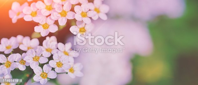 1135260918 istock photo Beautiful floral spring abstract background of nature. Branches of blossoming flower macro with soft focus background. Easter and spring greeting cards, copy space. Spring picture white flowers tree 1149141818