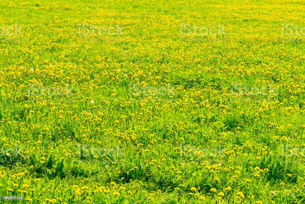 Beautiful floral summer background - green grass and blooming dandelions on an empty field - Royalty-free Agricultural Field Stock Photo