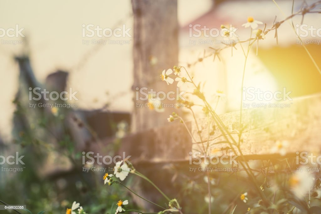 beautiful flower at the fence around countryside farm morning sunset vintage color tone stock photo