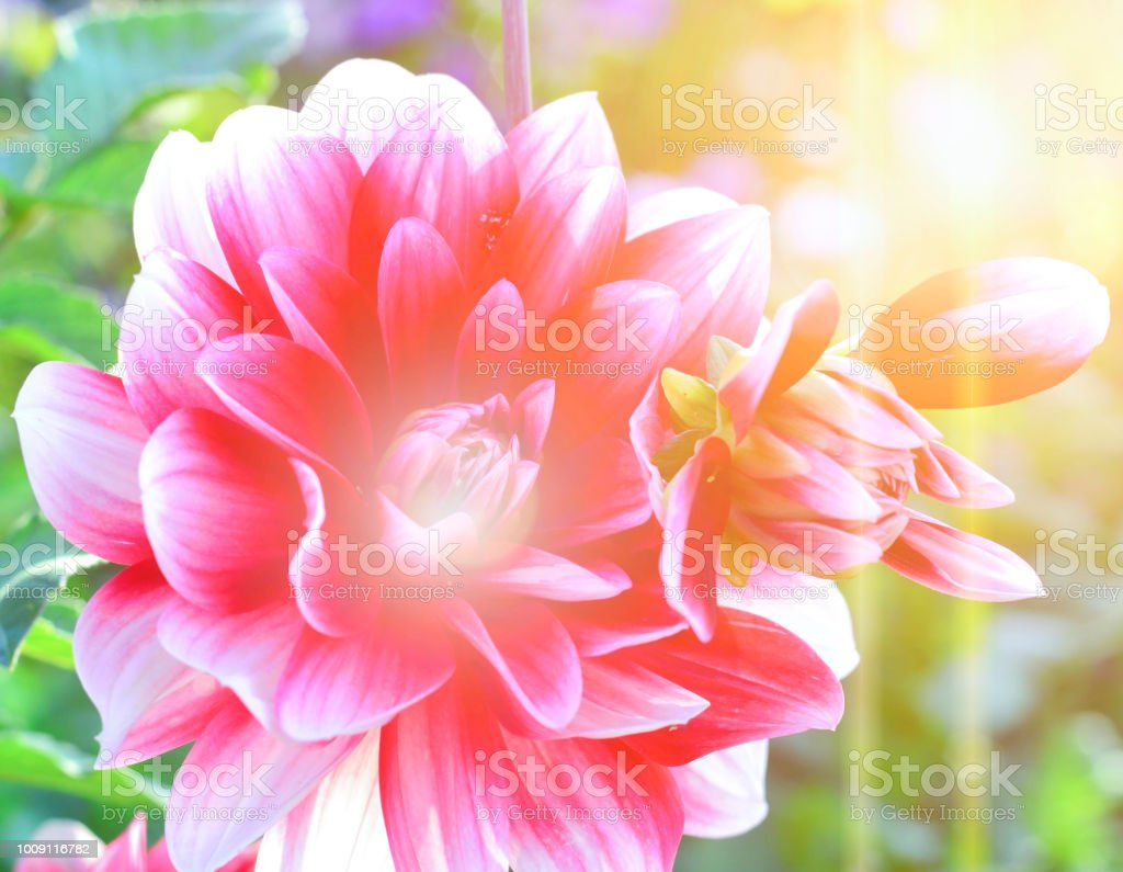 Beautiful Flower Background Amazing View Of Bright Pink Dahlia