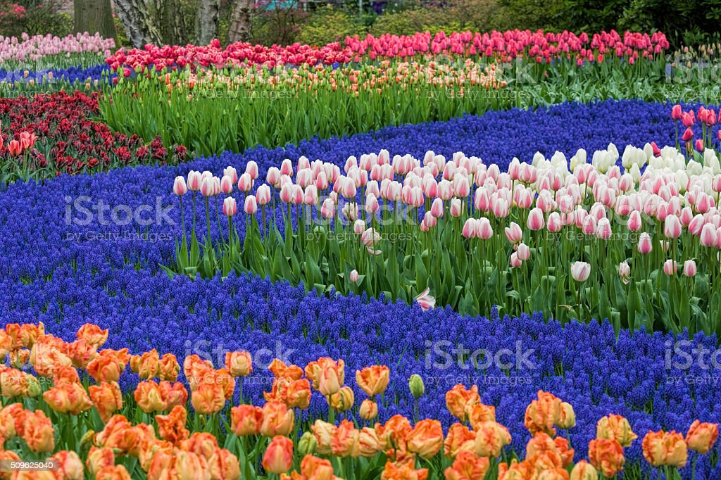 Beautiful flower bed of tulips in spring stock photo