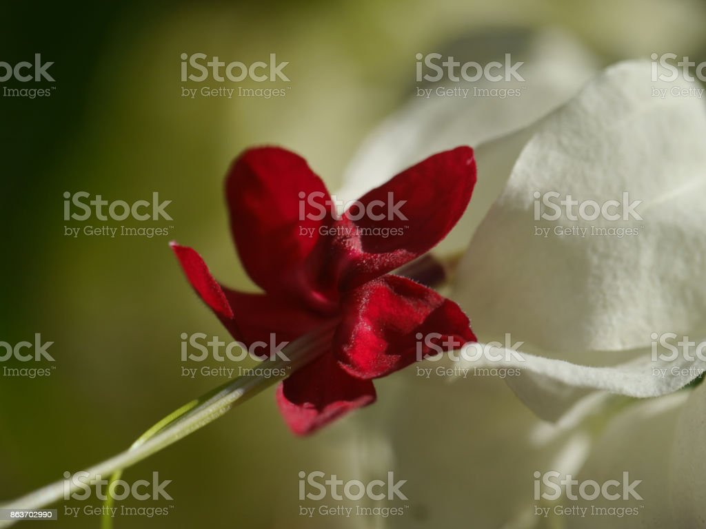 Beautiful flower 'Bleeding Heart' deep velvety red and white stock photo